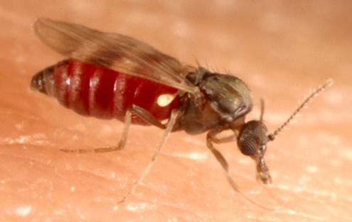 Dĩn hút máu, loài côn trùng ít được chú ý