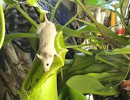 Cây diệt chuột