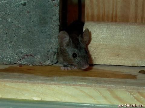 Phương pháp bẫy chuột hiệu quả
