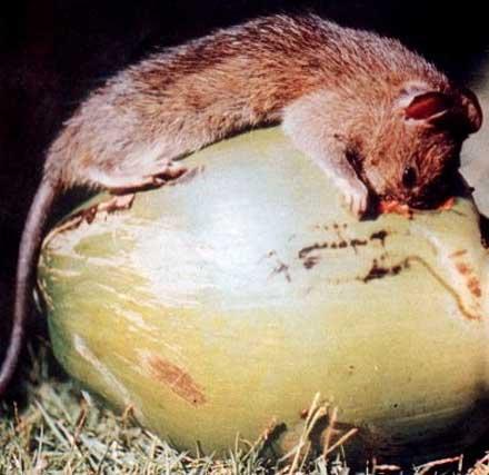 Chuột dừa