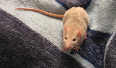 Chuột đảm bảo an toàn cho con người