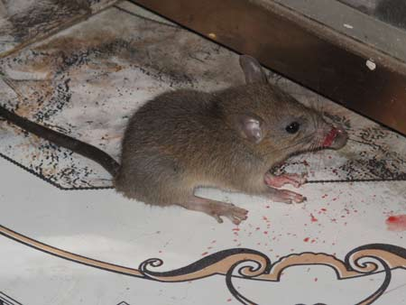 Kinh hãi với chuột