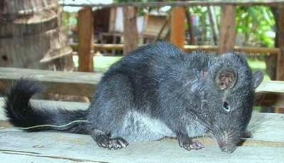 """Chuột """"tuyệt chủng11 triệu năm"""" đang bị săn ở bản Ón"""