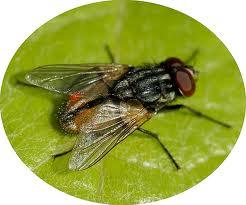Ruồi và những bệnh do ruồi truyền
