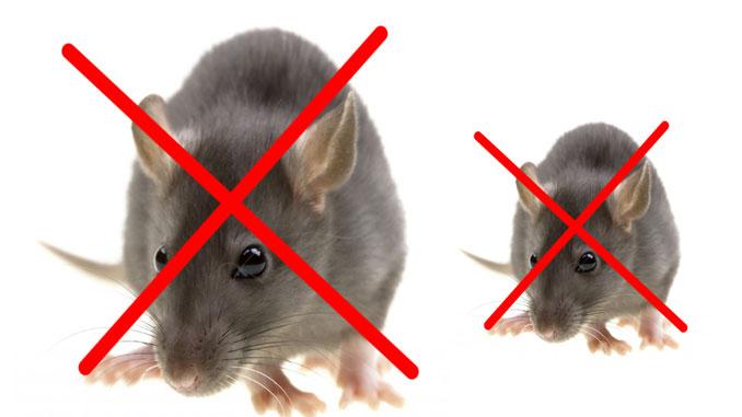 Các phương pháp diệt chuột hữu hiệu nhất