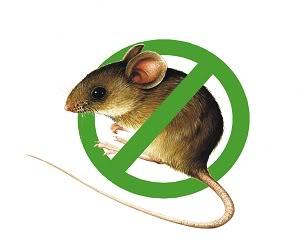 Tăng cường phòng trừ, diệt chuột để bảo vệ sản xuất, trồng trọt