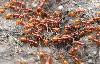 Phương pháp phòng và diệt kiến bằng các nguyên liệu tự nhiên