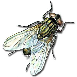 Ruồi truyền bệnh gì? dịch vụ diệt ruồi, muỗi, kiến, gián, mối