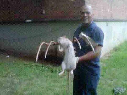 Chuột khổng lồ sống giữa thành phố Mỹ