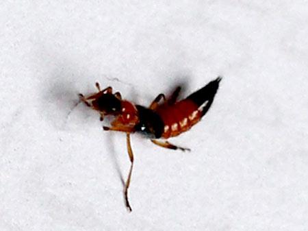 Diệt kiến ba khoang: Dân Hà Nội lo lắng vì kiến ba khoang