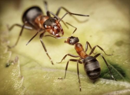 Đặc điểm, cấu tạo và tập tính của loài Kiến