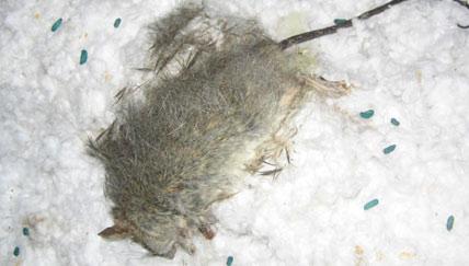 Diệt chuột trên trần nhà và sàn nhà