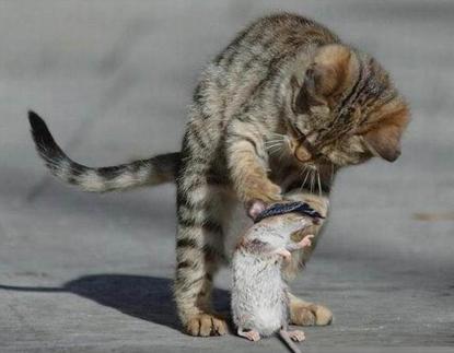 Cách chọn và nuôi mèo bắt chuột