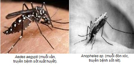 Muỗi truyền bệnh sốt rét và các biện pháp phòng chống