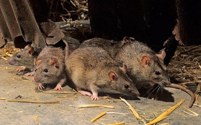7 cách diệt chuột an toàn và rẻ tiền, hãy thử ngay