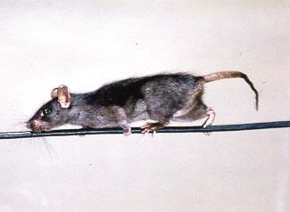 Chuột mái nhà
