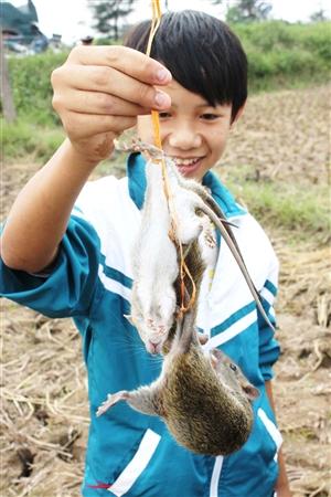 Mùa săn chuột, chuột cống hóa chuột đồng
