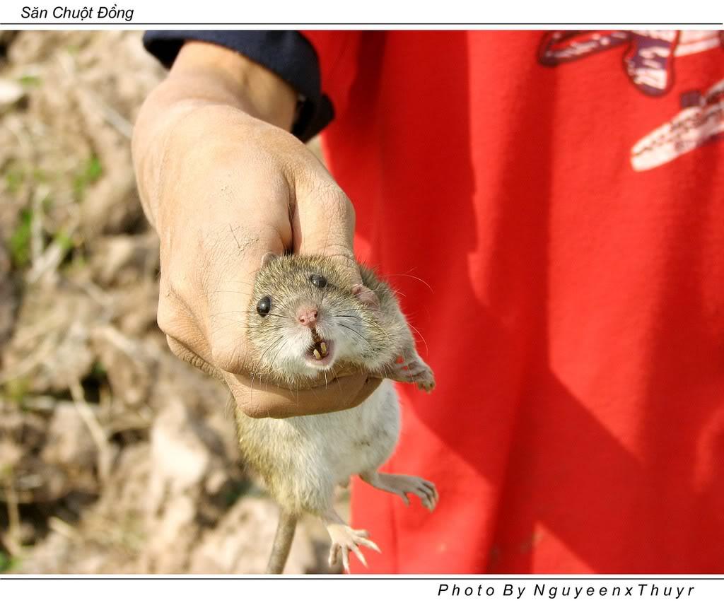 Cách săn và làm thịt chuột đồng