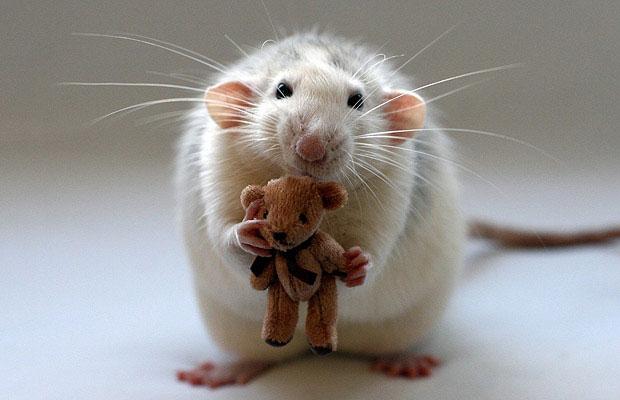 Chuột lại không sợ thuốc diệt chuột