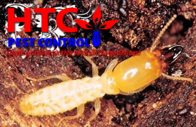Chế phẩm vi nấm phòng trừ mối không gây ô nhiễm môi trường