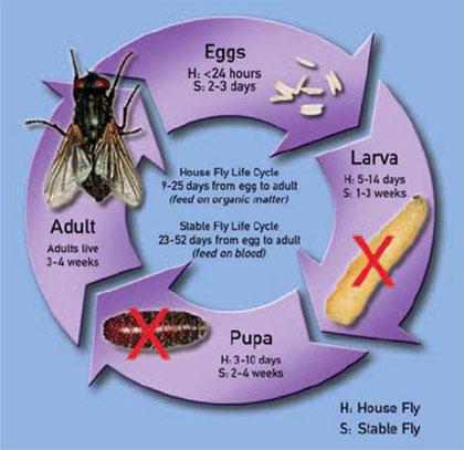 Dịch vụ diệt côn trùng: Ruồi nhà và một số biện pháp phòng chống.