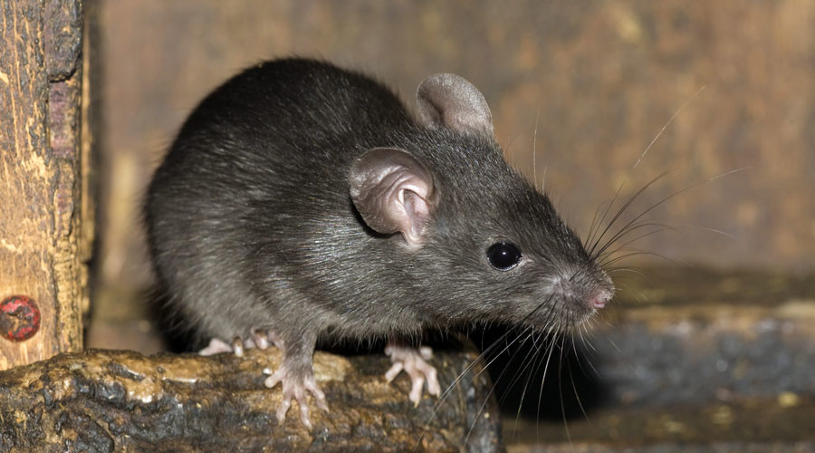 Đuổi chuột khỏi nhà bằng bông và giấm